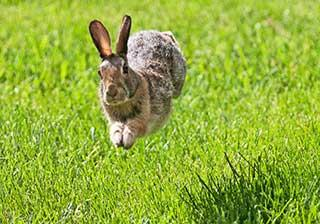 A rabbit running